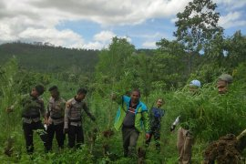 Polisi musnahkan ladang ganja seluas 4 hektare di Sawang, Aceh Utara