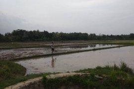 Hujan turun, petani di Lebak kembali tanam padi