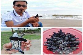 Masyarakat Muara Upu Tapsel lepas ribuan ekor Penyu ke Samudra Hindia