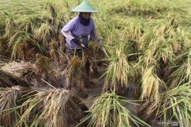 Target serapan beras petani turun