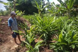 Petani lengkuas di Lebak untung Rp100 juta per hektare