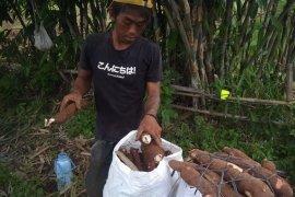 Singkong  dan ubi kayu jadi andalan ekonomi petani Lebak