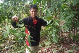 Permintaan meningkat, petani Lebak kembangkan tanaman vanili