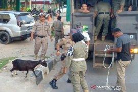 Satpol PP Aceh Timur tangkap 22 hewan ternak yang berkeliaran