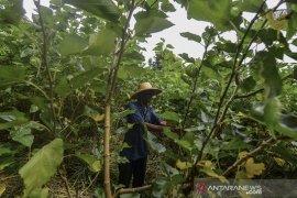 Petani murbei untuk teh