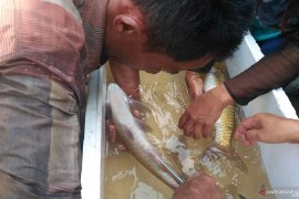 Sudah jarang ditemui di sungai, empat jenis ikan lokal Solok Selatan ini mulai dikembangkan