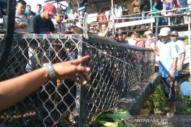 Seekor buaya masuk perangkap di Aceh Jaya