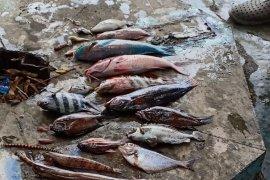 Ratusan ikan mati mendadak di perairan Malut