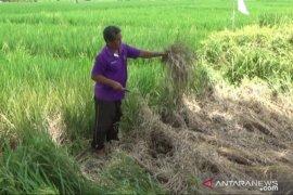 Hama wereng serang tanaman padi siap panen di Madiun
