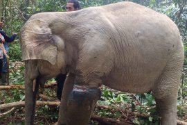 BKSDA Aceh evakuasi seekor gajah yang terjerat di Aceh Timur