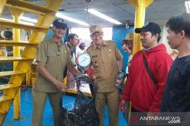 Pembudidaya hentikan sementara ekspor ikan kerapu Belitung ke Hong Kong