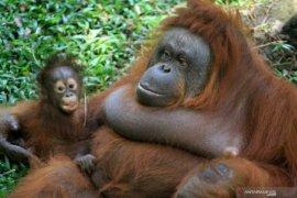 Kelahiran bayi Orangutan Kalimantan di Pasuruan