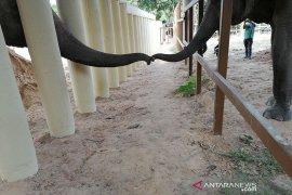 Cher senang gajah paling kesepian kini punya teman di Kamboja