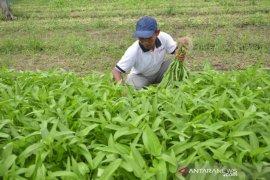 Cara unik Petani Perawang tanam Bayam dan Kangkung hasilkan cuan puluhan juta