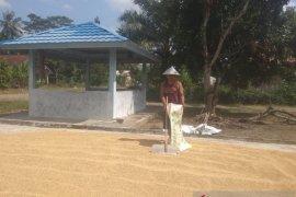 Harga gabah di Lampung Utara turun signifikan