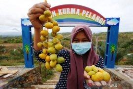 Panen Buah Kurma di Aceh
