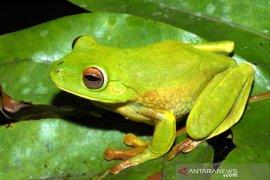 Spesies katak baru ditemukan di area Freeport Indonesia