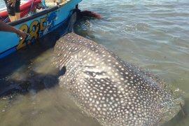 Petugas dan warga urunan ganti jala nelayan selamatkan hiu paus