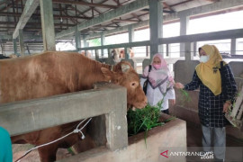 Ini harga sapi kurban Jokowi di Riau