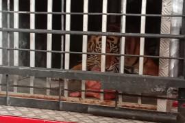BKSDA Sumbar lepasliarkan harimau sumatera ke hutan Pasaman Raya
