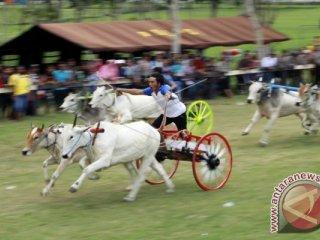 Joki memacu sapi karapan saat berlaga dalam kejuaraan Karapan Roda Sapi se-Sulawesi di Gelanggang Pacuan Kuda Yosonegoro, Kabupaten Gorontalo, Gorontalo, Rabu (13/7). Kejuaraan rutin setiap tahun yang diselenggarakan dalam rangka perayaan Lebaran Ketupat tersebut diikuti 55 pasang sapi. (ANTARA FOTO/Adiwinata Solihin)