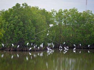 Burung Kuntul (Egretta garzetta) berkerumun di kawasan hutan manggrove, Desa Tibang, Kecamatan Syiah Kuala, Banda Aceh, Senin (21/1/2019). Habitat Burung Kuntul di hutan manggrove pesisir Aceh itu terancam rusak akibat penebangan dan alih fungsi lahan sehingga dikhawatirkan populasi burung tersebut semakin berkurang. ANTARA FOTO/Ampelsa/wsj.