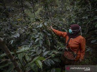Petani memanen kopi arabika di Desa Mekarmanik, Kabupaten Bandung, Jawa Barat, Kamis (20/6/2019). Gabungan Asosiasi Eksportir Kopi Indonesia (GAEKI) memperkirakan produksi kopi pada 2019 akan meningkat mulai lima hingga 10 persen atau sekitar 708.367 ton dibandingkan pada 2018 yang mencapai 674.636 ton. ANTARA JABAR/Raisan Al Farisi/agr