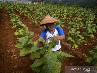 Petani melakukan perawatan daun tembakau di Desa Cikeuyeup Hilir, Kabupaten Sumedang, Jawa Barat, Kamis (20/6/2019). Asosiasi Petani Tembakau Indonesia (APTI) memperkirakan pada 2019 ini produksi tembakau dapat mencapai 180.000 ton atau turun 10 persen dibandingkan pada 2018 yang mencapai 200.000 ton. ANTARA JABAR/Raisan Al Farisi/agr