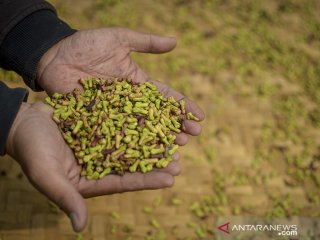 Petani menunjukan biji cengkih yang telah dipanen di Desa Sindanglaya, Kabupaten Bandung,  Jawa Barat, Senin (24/6/2019). Petani menyatakan harga cengkih pada musim panen tahun ini turun sekitar 10 persen atau hanya dapat dijual Rp 70 ribu dibandingkan tahun lalu yang mencapai Rp 90 ribu per kilogram. ANTARA JABAR/Raisan Al Farisi/agr