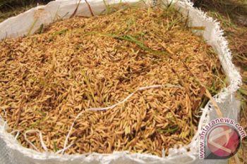 BPS akan rilis data produksi beras yang lebih akurat