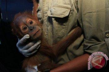 Petugas Yayasan Orangutan Sumatera Lestari - Orangutan Information Centre (YOSL-OIC) menggendong bayi Orangutan Sumatra (Pongo abelii) berumur satu tahun yang disita dari warga, setibanya di Medan, Sumatera Utara, Rabu (1/6). Bayi Orangutan jantan tersebut disita pihak BKSDA Aceh bekerjasama dengan pihak YOSL-OIC, dari seorang warga di Desa Alur Jambu, Aceh Tamiang, yang selanjutkan akan dibawa ke karantina Sumatran Orangutan Conservation Program (SOCP) Batumbelin, Sibolangit, Deli Serdang, untuk dilatih mandiri di alam. ANTARA FOTO/Irsan Mulyadi/foc/16.