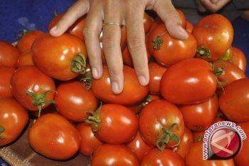 Tomat, buah seksi berjuta kontroversi