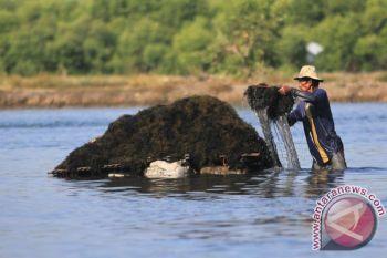 LIPI berhasil kembangkan budidaya gabungan teripang-bandeng-rumput laut