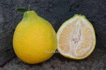 Krisma agrihorti, jeruk lonceng yang renyah