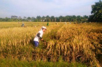 UPBS BPTP Balitbangtan Sumut panen padi varietas unggul baru