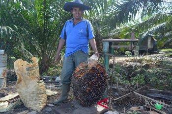 Sosok mantan pejabat Abdya jadi petani sukses