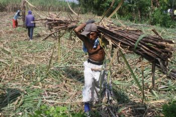 Harga gula murah petani enggan tanam tebu