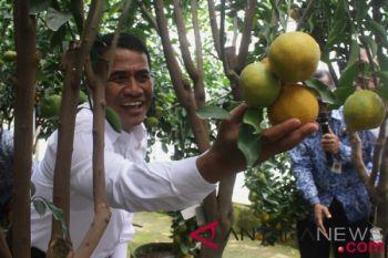Mentan luncurkan sejuta bibit jeruk