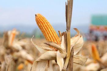 Fosfat alam dongkrak produksi jagung di lahan masam