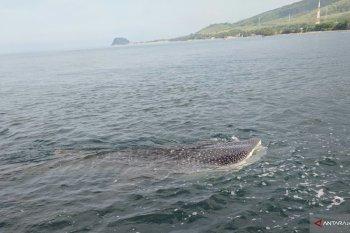 Sekumpulan hiu ditemukan mendekat ke pesisir pantai