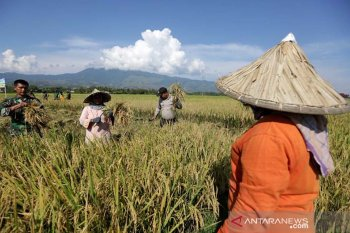 Petani dibantu anggota bintara pembina desa (Babinsa) Kodam Iskandar Muda (kiri) dan personil Bhayangkara Pembina Keamanan dan Ketertiban Masyarakat (Bhabinkamtibmas) Polda Aceh (dua kanan) memanen padi pada musim panen perdana 2019 di Indrapuri, Aceh Besar, Sabtu (30/3/2019). Kementerian pertanian menargetkan produksi padi pada 2019 sebanyak 84 juta ton dan telah mengalokasikan anggaran sebesar Rp21,6 triliun untuk peningkatan produksi komoditas pangan strategis. (Antara Aceh/Irwansyah Putra)