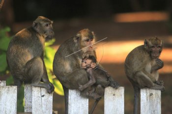 Sejumlah kera ekor panjang (Macaca fascicularis) bertengger menunggu makanan dari pengguna jalan di Desa Cibeureum, Cilimus, Kuningan, Jawa Barat, Sabtu (24/8/2019). Populasi kera di kawasan itu meningkat hingga ribuan ekor sehingga keberadaannya dianggap sebagai hama yang kerap merusak tanaman kopi, cengkeh dan palawija. ANTARA FOTO/Dedhez Anggara/nym.