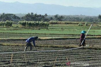 Hama ulat grayak diminta diwaspadai petani di Gunung Kidul