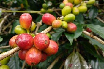 Petani: Cuaca pengaruhi harga tampung kopi Gayo