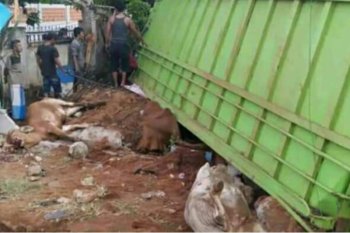 Karena sopir ngantuk, truk bermutan sapi terguling di Jalinpatim Lampung Timur
