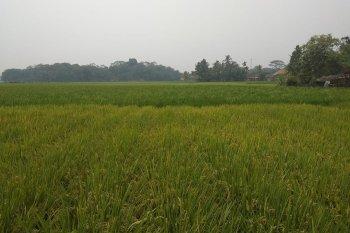 Petani Lebak kembangkan padi gogo seluas 20 hektare di Bojong Manik