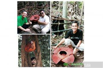 Tiga rafflesia mekar di Bengkulu