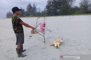Warga serahkan bangkai penyu ke BKSDA Bengkulu-Lampung