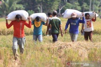 Gubernur: Produksi padi Aceh terus meningkat