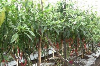 Balitbangtan optimistis Indonesia mampu kembali ekspor cabai